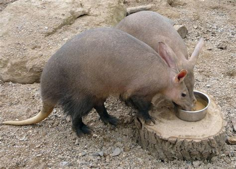 aardvark animals wiki fandom powered  wikia