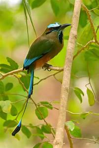 Bellas Aves De El Salvador  Eumomota Superciliosa  Guardabarranco  Torogoz  Residente