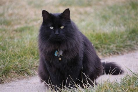 quanto vivono i gatti persiani veterinario dott alessandro napoleoni tutto ze