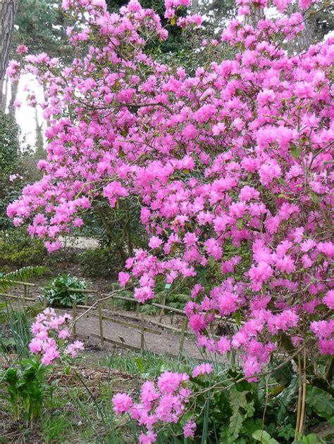 rhododendron en pot en hiver rhododendron mucronulatum c 244 t 233 jardin