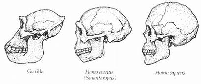 Tract Vocal Changes Skulls Evolution Hominid Different