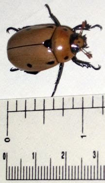 grapevine beetle whats  bug
