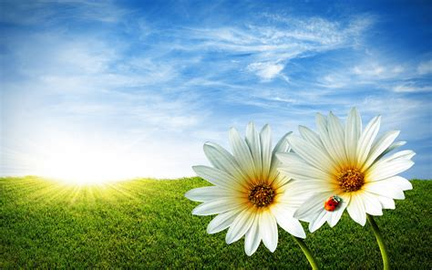 Download Wallpaper,daisies, Flowers, Field, Meadow, Sun ...