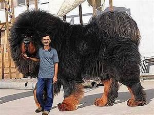 35 Biggest Dogs In The World | Ezvid Rank