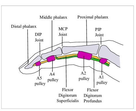 Trigger Finger Diagram by Anatomy Of A Human Finger Scientific Diagram