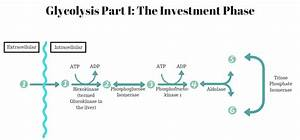 How Is Atp Produced By Glycolysis Quizlet