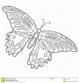 Tropical Butterfly Rumanzovia Papilio Coloring Illustra sketch template