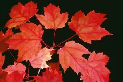 autumn blaze maple tree root system   trees  autumn