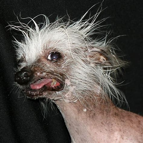Ugliest dog in the world Rascal Ugliestthingintheworld com