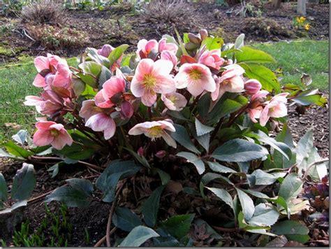 care of hellebores helleborus orientalis care garden inspiration