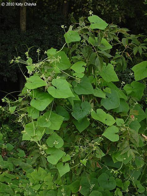 sicyos angulatus bur cucumber minnesota wildflowers