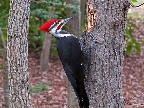 woodpeckers who s your granny