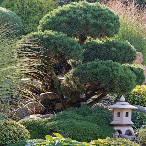 Kiefern Im Garten by Kleiner Baum Im Topf Kleiner Baum Im Wei En Topf