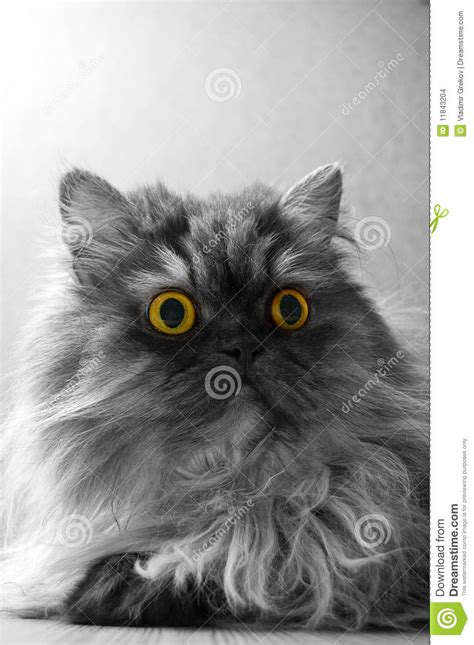 chat persan gris chat persan gris avec les yeux jaunes photo stock image du tabby animaux 11843204