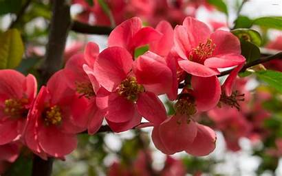 Flowers Peach Wallpapers Blossoms Flower Blossom Spring