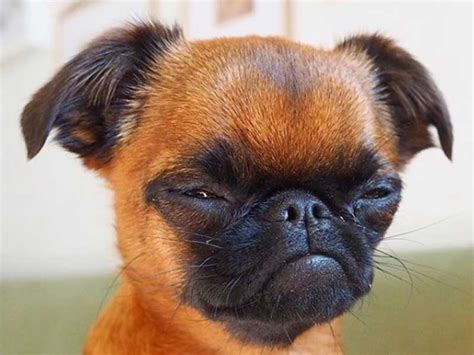 amazing brussels griffon expressions