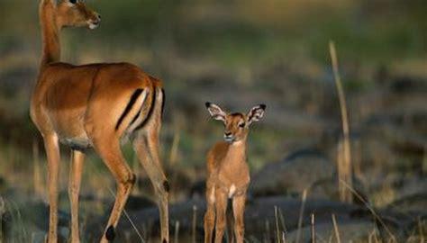 impala eat animals momme