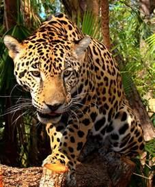 jaguar cat file junior jaguar belize zoo jpg