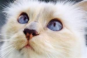 Choupette Chat Karl : les malheurs de choupette le chat de karl lagerfeld ~ Medecine-chirurgie-esthetiques.com Avis de Voitures