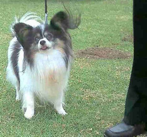 papillon dogs puppies breeders  south africa