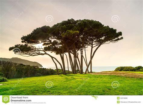 italian pine tree maritime pine tree sea and baratti 7609