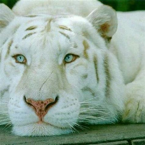 Best Images About Siberian White Tigers Pinterest