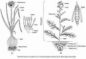 Onion Plant Diagram