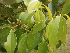 Cinnamon trees - Discovery GardenDiscovery Garden