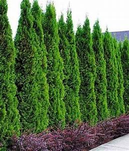 Thuja Smaragd Wachstum : thuja smaragd lebensbaum von baldur garten auf ~ Michelbontemps.com Haus und Dekorationen
