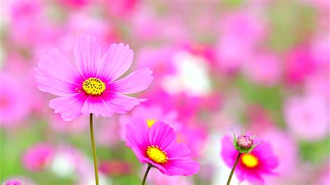 Field Of Pink Flowers, High Quality, Ultra Hd
