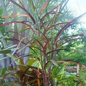 tanaman puring codiaeum variegatum ganesha flora bali
