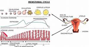 Menstrual Cycle  Sketch The Labeled Diagrams