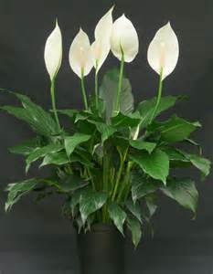 purple lillies spathiphyllum the quot indestructible plant quot