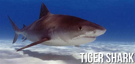 tiger shark facts information  tiger sharks