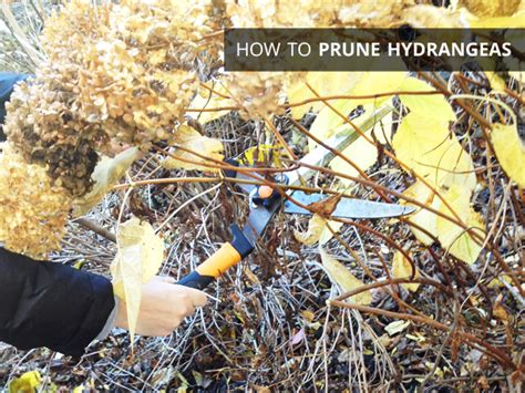 how to prune hydrangeas in the pruning our hydrangeas crossing our fingers rather square