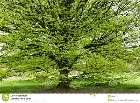 Árbol Del Carpe En La Primavera Imagen De Archivo