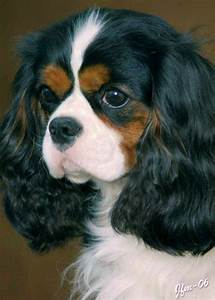Tricolor Cavalier King Charles Spaniel Looks like my Parti ...