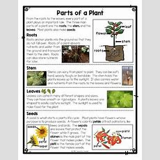 Differentiated Parts Of A Plant Reading Passage, Parts Of A Plant Worksheets