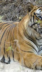 Dominant Male Of Royal Bengal Tiger Stock Photo - Image of ...