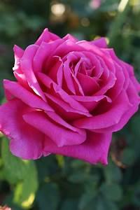 Miranda Lambert Rose Turns Heads With Its Luring Fragrance