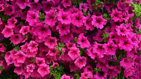 Petunien Garten Pflanzen by Petunien Pflanzen Und Pflegen So Geht S