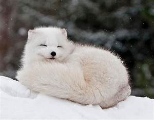 Animal You  Arctic Fox