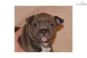 Blue Brindle American Pit Bull Terrier