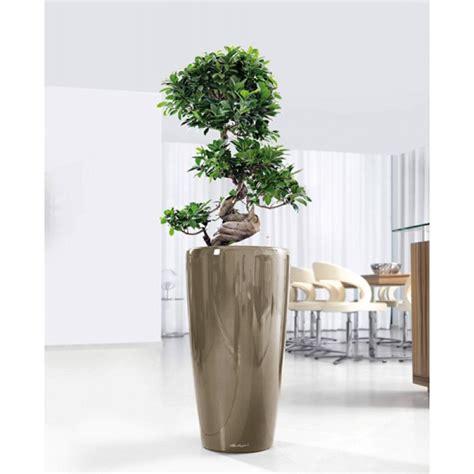 lechuza rondo 40 ficus microcarpa bonsai 35 100 cm in lechuza rondo 40 x 75 cm