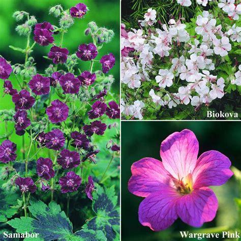 zone 4 flowers geranium zone 4 perennial yard pinterest