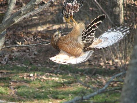 featured photo red shouldered hawk eating suet project