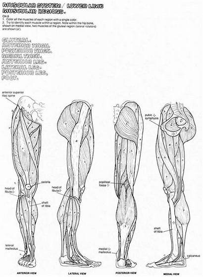 Anatomy Coloring Muscle Muscles Human Pages Diagram