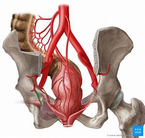Internal Pudendal Artery  Anatomy  Branches  Supply