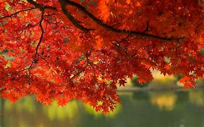 Fall Leaves Autumn Screensavers Wallpapers Desktop Tree