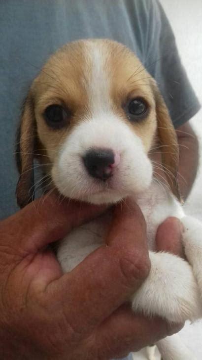 beagle puppies  sale  nc  oxford north carolina